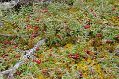Really, it's April and Berry Season in the Yukon (MIKOFOX  Thanks for Visiting!) Tags: plant spring berries yukon cranberries april xt1 fujifilmxt1 xf18135mmf3556rlmoiswr mikofox