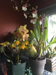 (paw paw mark) Tags: flowers orchids phalaenopsis fragrant blooms odontoglossum lycaste