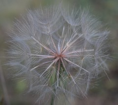 ...make a wish... (djchphotography) Tags: morning pink sun white green nature beautiful sunrise lens outside outdoors happy grey fly flying colorado day natural fort many natur grow seed sunny symmetry dandelion seeds bloom growing bud collins lots budding blooming
