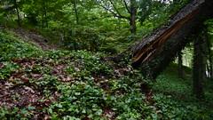 DSCN1420 (VerlynC) Tags: tree falling hickory