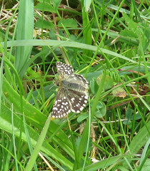 Grizzled Skipper (Odd Wellies) Tags: england butterfly unitedkingdom cerneabbas grizzledskipper gianthill st6601