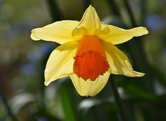 Daffodil (careth@2012) Tags: light nature petals spring nikon britishcolumbia daffodil nikond3300 d3300