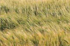 Pennellate col vento (Antonio Ciriello) Tags: italy verde green nature canon landscapes italia wind ears natura tamron puglia vento 70300 apulia spighe 600d massafra cernera 70300vc eos600d canoneos600d tamron70300vc rebelt3i 70300vcusd citignano
