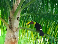 P4278793 (lychee_vanilla) Tags: bird animal toucan costarica tier tucn blackmandibledtoucan ramphastosambiguus vigel quioro tucnpiconegro