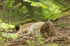 Luchs (Lynx lynx) (duseppl) Tags: canon eos mark sp ii 7d di tamron vc lynx usd luchs a011 f563 150600mm