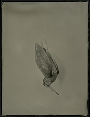 (case-ie) Tags: birds dead stuffed ambrotype wetplate largeformat collodion scolopaxrusticola eurasianwoodcock wholeplate 65x85inch woodentravelcamera dallmeyer3d