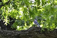 Blue Jay Hiding (samurai66) Tags: county blue birds illinois spring jay kane songbirds