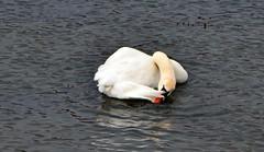 (Zak355) Tags: birds scotland swan wildlife scottish bute rothesay isleofbute