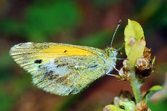 Dainty Sulphur (Larah McElroy) Tags: pictures macro butterfly bug insect photography picture butterflies insects bugs photograph sulphur dainty mcelroy daintysulphur larah larahmcelroy