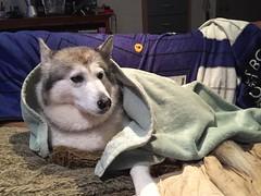 Relaxing on a wet Sunday (redwolfoz) Tags: dog grey pod husky malamute siberianhusky alaskanmalamute