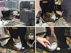 Bastian chaired (Finn Frode (DK)) Tags: show pet cats animal cat denmark indoor olympus bis mixedbreed housecat catshow bestinshow bastian hvidovre domesticshorthair huskat racekatten fif omdem5