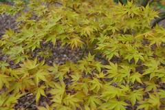 Acer Palmatum 'Katsura' (Pattern Interrupt) Tags: spring maple japanesemaple acer  oxfordshire palmatum katsura    batsfordaboretum visitbatsford