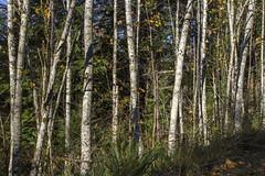Alders and Abandoned Telegraph Pole (Don Thoreby) Tags: forest moss cedar cascades greenway cascademountains cascaderange ironhorsetrail alders cedartrees mountaintosound aldertrees mountaintosoundgreenway