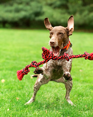 964 Close your eyes and pray that the rope hits your mouth (The_Little_GSP) Tags: dog eyes funny pray ears rope piper gsp
