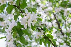 Äimänä omenapuiden kukkamerestä (plepola) Tags: hollola kukat sigma1835mmf18dchsmart sonya6300