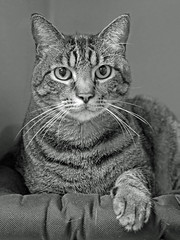 Gabe (AbbyB.) Tags: rescue pet cat newjersey feline shelter adopt adoptable shelterpet petphotography easthanovernj mtpleasantanimalshelter