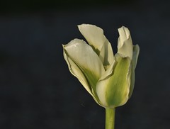 a lovely green tulip......... (Suzie Noble) Tags: flowers flower bulb garden tulip bulbs strathglass struy flowertubs