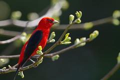 Scarlet Tanager (Dan Tristram Photography) Tags: scarlet tanager