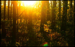 Forest Sunset II (Josh Rokman) Tags: nature outdoors nikond7000 swamp marsh forest sunset natural sun gold golden