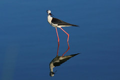 Blackwinged stilt 2012_01 (Jan Thomas Landgren) Tags: bird nature water birds animal animals fauna spain wildlife sony natur aves wetlands tamron mallorca waders stilt wetland avifauna fglar djur fgel wader himantopushimantopus blackwingedstilt styltlpare salbufera vadare sonya77 styltpare salbuferamarshes vadarecharadriiformes vrigavadare