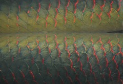Arapaima Scales - detail (brennapear) Tags: detail reflection aquarium pattern scales shedd arapaima