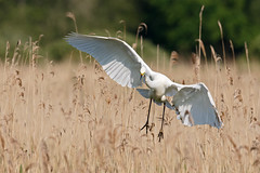 Great white egret #3 of 3 (Steve Balcombe) Tags: uk morning light white bird reeds alba great somerset ardea egret levels reedbed rspb hamwall avalonmarshes