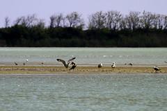 The Seagull and the Cormorant (Strocchi) Tags: sea water birds fauna canon seagull sigma uccelli cormorant acqua spiaggia gabbiano 50500mm cormorano deltadelpo eos7d