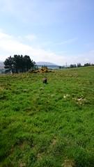 Hudson Wants Balls (Filmstalker) Tags: trees sky dog mobile labrador hills fields hudson chocolatelabrador bonaly