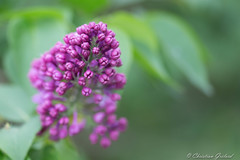 Lilas (christian.grelard) Tags: flower tree nature fleur canon eos spring sigma lilac arbre printemps lilas 105mm 700d canonfrance