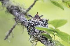 Rufous hummingbird (Selasphorus rufus) (Tony Varela Photography) Tags: photographertonyvarela selasphorusrufus selasphorusrufusnest hummingbird nest rufoushummingbird rufoushummingbirdnest