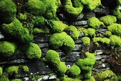 (esmhs) Tags: plants green nature wall forest moss mossy