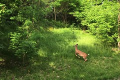 When someone in a funny hat interrupts your breakfast (Adrian Cooke) Tags: new york morning animals campus spring woods university central upstate deer syracuse