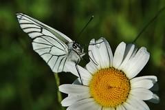 Baum-Weißling (Aporia crataegi) (Hugo von Schreck) Tags: macro butterfly insect makro insekt schmetterling aporiacrataegi buzznbugz baumweisling tamron28300mmf3563divcpzda010 canoneos5dsr