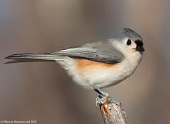Perching titmouse (v4vodka) Tags: newyork bird nature animal wildlife birding longisland titmouse birdwatching songbird tuftedtitmouse baeolophusbicolor sikoradwubarwna elizabethmortonwidliferefugemortonsanctuary