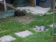 04062016N4 (starezubre) Tags: gatti giardino 2016 gattini mamme giocchi
