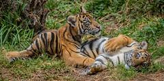 Cathy and Nelson @ Play (ToddLahman) Tags: baby cat canon teddy tiger nelson e tigers cathy sumatrantiger joanne safaripark escondido canon100400 tigercub babytiger tigertrail sandiegozoosafaripark babysumatrantiger canon7dmkii