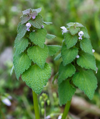 Lamium purpureum (purple dead nettle) (tgpotterfield) Tags: usa westvirginia lamium lamiaceae lamiumpurpureum greenbrierrivertrail purpledeadnettle greenbriercountywv