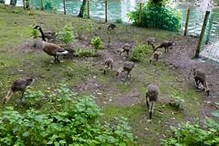 Gosling creche, Mary Stevens Park (Dave_A_2007) Tags: england bird nature wildlife goose gosling westmidlands canadagoose brantacanadensis stourbridge