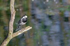 Fly Fishing! (abritinquint Natural Photography) Tags: bird vogel natural wildlife nature wild nikon d7200 telephoto 300mm pf f4 300mmf4 300f4 nikkor teleconverter tc17eii pfedvr germany