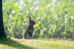 AAF_5772 (De Hollena) Tags: konijn conejo europeanrabbit oryctolaguscuniculus aartswoud wildkaninchen lapindegarenne