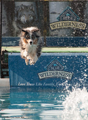 Dock Dog Compeition (gerilynns) Tags: dogs water outside jump collie maine competition concentrate