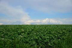 Potatoes (DST_2583) (larry_antwerp) Tags: steenokkerzeel vlaamsbrabant aardappelen potatoes potato plant fiel veld horizon belgium belgi
