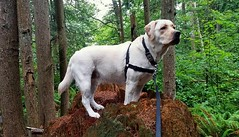 Gracie on an old tree stump (walneylad) Tags: summer dog pet canada cute puppy gracie lab labrador britishcolumbia july canine labradorretriever northvancouver eastviewpark