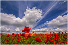 Beautiful Poppies and An Awesome Sky (Sharon Dow Photography) Tags: uk blue red wild england flower nature beautiful field weather clouds downs sussex petals flora nikon brighton pretty britain south ngc hills poppy poppies stunning wildflowers blueskies remembrance opium eastsussex naturalworld cloudporn southdowns ditchling southernengland papaveraceae southeastengland wideanglelens 2016 ditchlingroad papaverrhoeas poppyfield awesomesky d7100 summer2016 nikond7100 sharondowphotography summersday june2016
