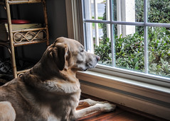 Cody (My Yellow Lab) Looking out the Window (mbell1975) Tags: dog pet window yellow out lab labrador looking retriever cody my