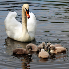 IMG_5293 -- Swan mother and 6 cygnets, 9 days old (Nils Axel Braathen -- Thanks a lot for +200K views) Tags: france nature canon swan wildlife ngc cygnet schwan soe cygne cygnusolor levsinet thegalaxy svane specanimal cygnetubercul mygearandme mygearandmepremium mygearandmebronze mygearandmesilver mygearandmesilverselection mygearandmegold blinkagain sweetfreedom flickrstruereflection1 flickrstruereflection2 rememberthatmomentlevel4 rememberthatmomentlevel1 rememberthatmomentlevel2 rememberthatmomentlevel3 vigilantphotographersunite vpu2 vpu3 vpu4 vpu5 vpu6 vpu7 vpu8 vpu9 vpu10