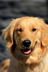 Smiling dog (tanakawho) Tags: portrait dog pet brown eye smile animal tongue goldenretriever mouth fur nose gold ear creature tanakawho