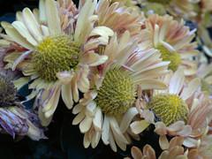 10162011919 (triciawd) Tags: rose clematis salvia begonia hydrangea phlox chrysanthemum cosmos monkshood malva nicotina toadlily cleome newyorkasters sedumfllowers gayfeatherseedhead