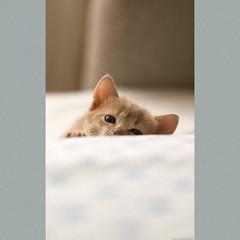 Bora or Brina (peter_hasselbom) Tags: cats female cat 50mm daylight kitten naturallight kittens fawn 33daysold