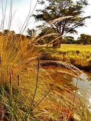 Landscape #1 (Cathlon) Tags: autumn water landscape 1 grasses pretoria botanicalgardens assignment52182012